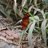 Lasiophila palades persepolis (HEWITSON, 1872). Route de Cuicocha à Apuela, 3000 m (Imbabura), 17 novembre 2013. Photo : J.-M. Gayman