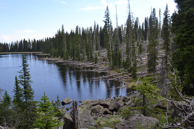 looking along the lake edge where many fallen trees poke into the water