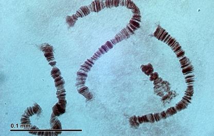 Fungsi Kromosom