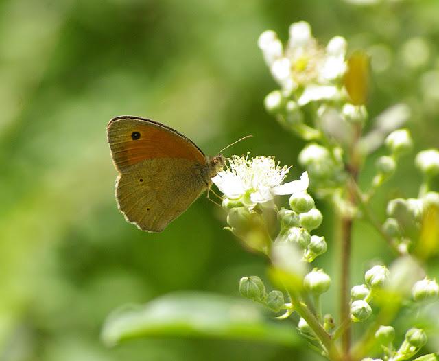 Maniola jurtina LINNAEUS, 1758, mâle. Combe de l'Air, Forêt de Châtillon (Côte-d'or), 16 juin 2007. Photo : J.-M. Gayman