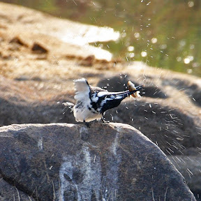 Pied Kingfisher with Fish, South Africa