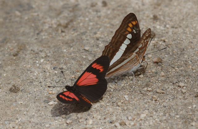 Limenitidinae : Adelpha alala HEWITSON, 1847, et (Acraeini) Actinote dicaeus LATREILLE, 1811. San Antonio, route de Satipo (Junin, Pérou), 6 janvier 2011. Photo : Meena
