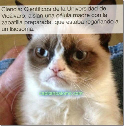 gato guñon meme robados (3)