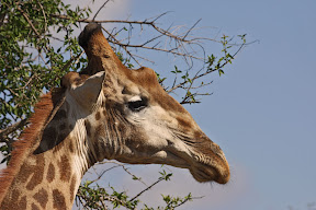 Male Giraffe, South Africa