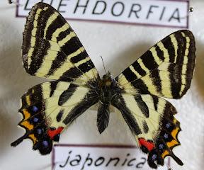 LUEHDORFIA PUZICOI JAPONICA.JPG