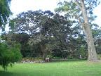 Wahnsinnsbäume im Royal Botanic Garden