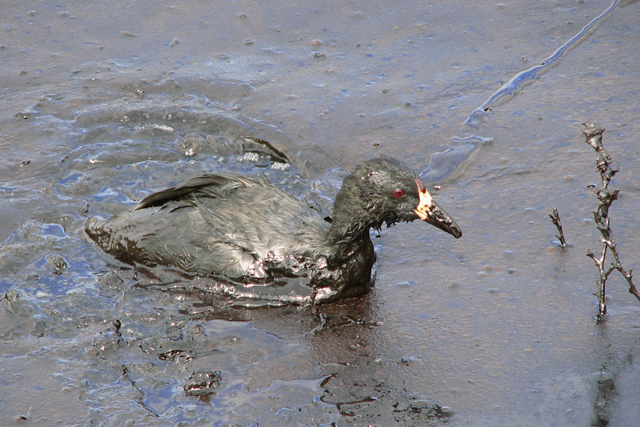 An American coot on an oil-covered evaporation pond at an oilfield wastewater disposal facility. An estimated 500,000 to 1,000,000 migratory birds die each year in oilfield wastewater pits. Photo: Pedro Ramirez, Jr. / USFWS / CC Flickr