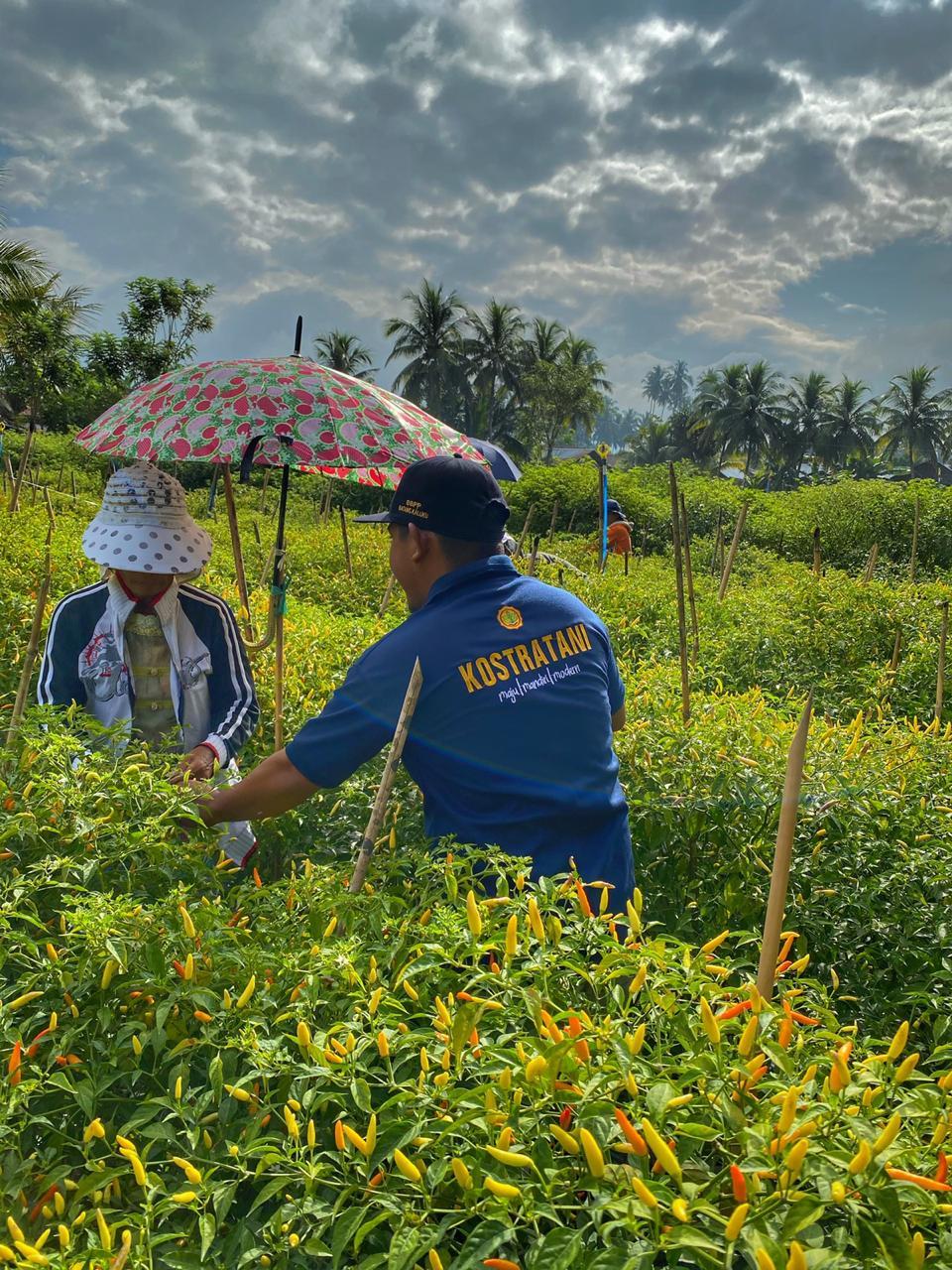 Ditengah Covid 19, Petani Cabai di Kotamobagu Pasarkan Hasil Tani Via Online