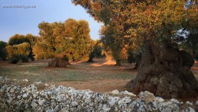 Brompton, Dahon olivos carovigno