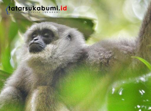 Gerombolan Monyet Gunung Halimun Salak, Turun Gunung Masuk Pemukiman Warga