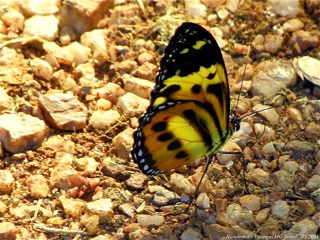 Ithomiinae : Tithorea harmonia pseudethra BUTLER, 1873. Pitangui (MG, Brésil), 4 mai 2011. Photo : Nicodemos Rosa