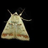 Geometridae : Oenochromiinae : Nearcha sp. (?). Umina Beach (NSW, Australie), 1er novembre 2011. Photo : Barbara Kedzierski