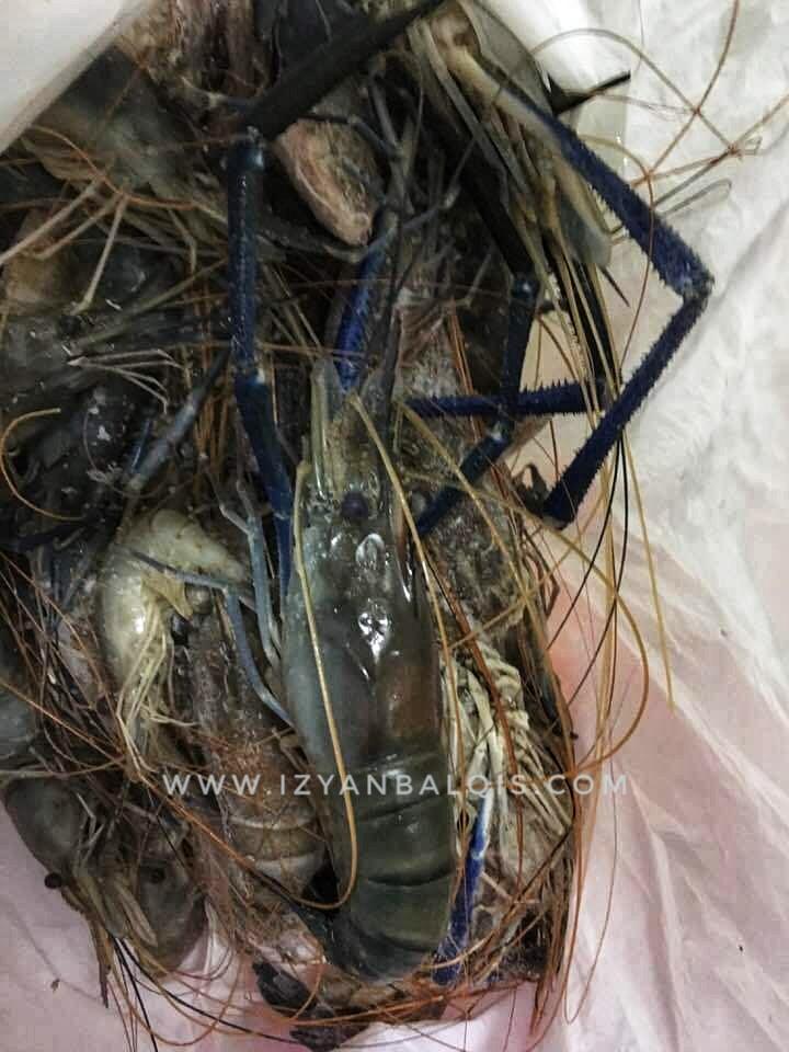 Udang Galah Jenggo Teluk Intan Masak Minyak Dan Kerabu Pucuk Paku Kerang