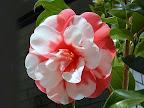 桃紅色地 白斑入り 八重 抱え性 割りしべ 大輪