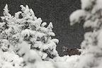TOMBE LA NEIGE   Cabri dans les difficiles conditions hivernales