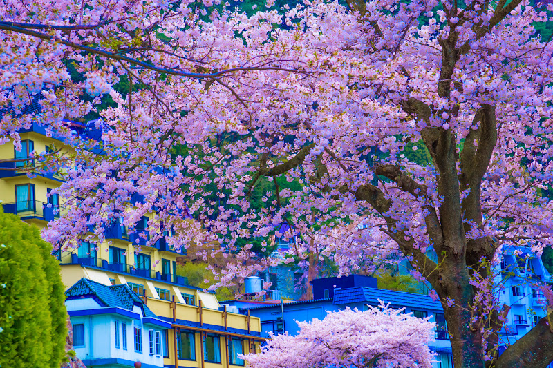 河口湖 桜 写真7