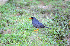 Indian black Robin