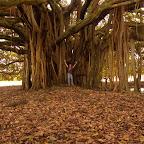 Bajo la sombra del árbol de Guacarí