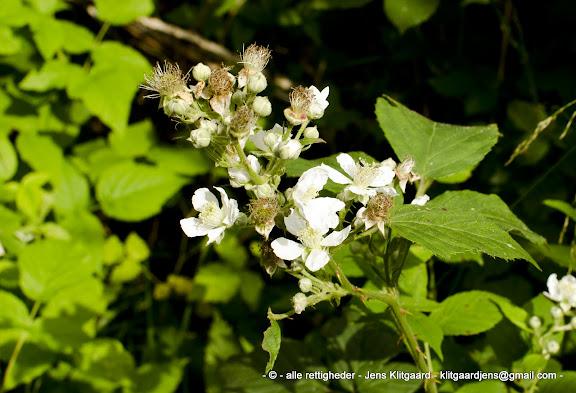 Hvide blomster i Østerskoven ved Haderslev