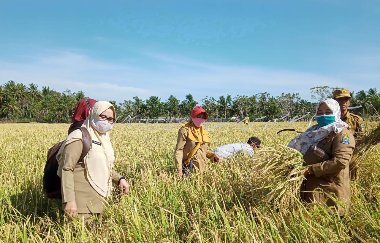 Penyuluh Pertanian Di Jeneponto Tetap Semangat Dampingi Petani Panen Padi Ditengah Pandemi