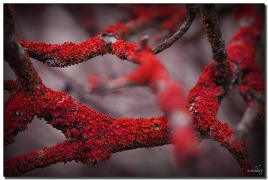 musgo-rojo