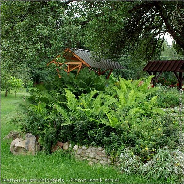 Matteucia struthiopteris - Pióropusznik strusi przykład zastosowania w ogrodzie