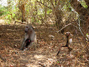 A baboon mom and baby, while another baby baboon is playing.