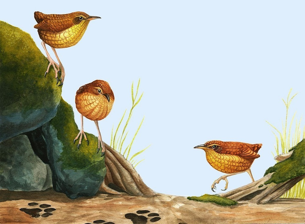 stephens-island-wren-6