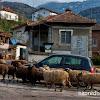 Рено заобиколено с овце в село Радуил