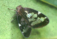 Scolypopa australis. Photo MJ Fletcher. Citation: Fletcher, M.J. (1999) Identification key and checklists for the Planthoppers of Australia and New Zealand (Superfamily Fulgoroidea) http://www1.dpi.nsw.gov.au/keys/fulgor/index.html