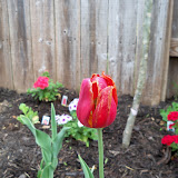 Gardening 2011 - 100_6795.JPG