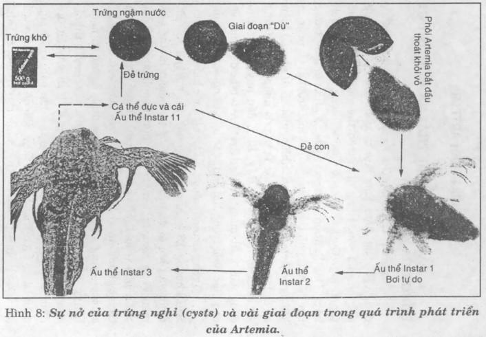 Kỹ thuật nuôi Artemia - 56ea621fc8523