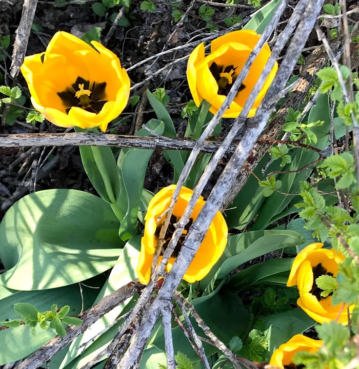 [Wild+Tulips+April%5B5%5D]