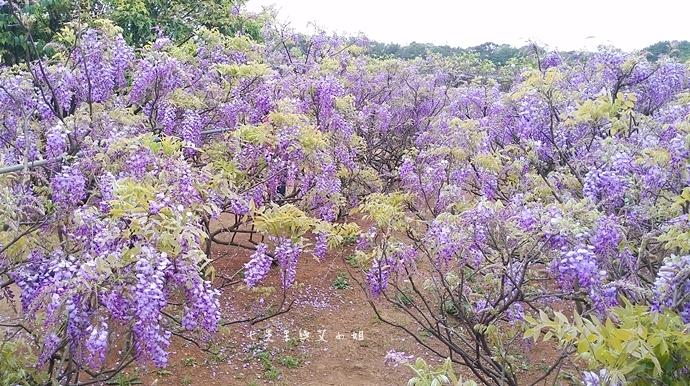 9 紫藤咖啡園 2014