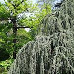 Arboretum de la Vallée-aux-Loups : cèdre bleu pleureur