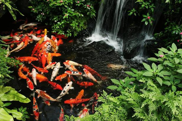 Mật độ nuôi cá Koi dày