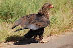 En ørn i vejsiden.