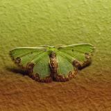 Synchlora gerularia (HÜBNER, [1823]). Santa Fe (Veraguas, Panamá), 18 octobre 2014. Photo : J.-M. Gayman