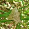 Striped Grass Looper Moth