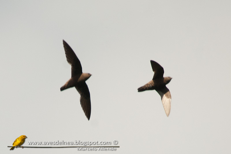 Vencejo de cascada (Great dusky Swift)