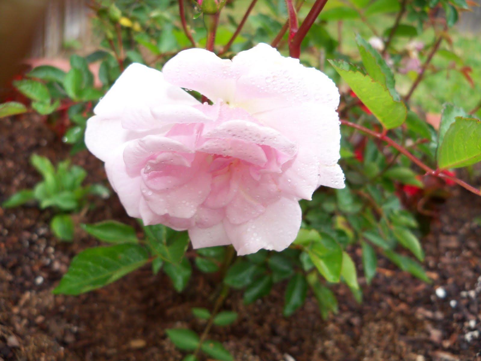 Gardening 2010 - 101_0535.JPG
