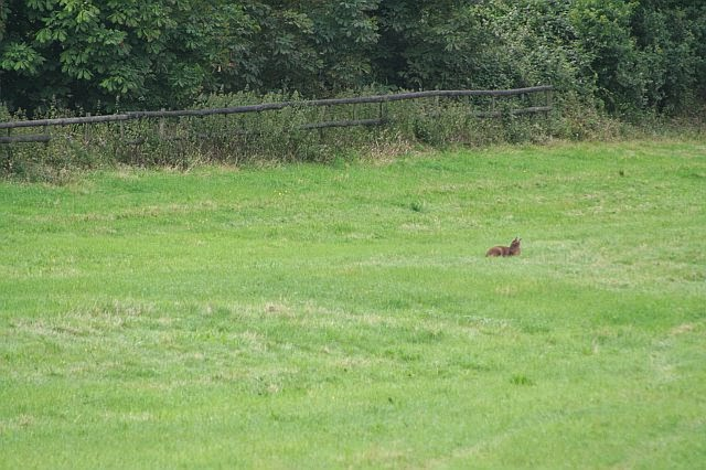 Woodhurst Wildlife Muntjac In The Grassfield - muntjac10.jpg