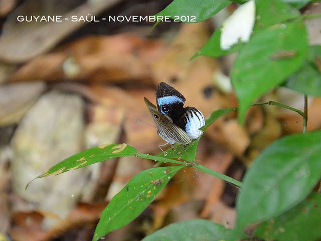 Mesosemia philocles philocles (LINNAEUS, 1758), mâle. Saül, novembre 2012. Photo : M. Belloin