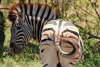 En zebra med krølle på halen.