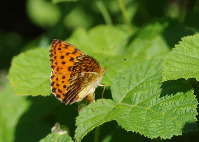 Brenthis daphne (Bergsträsser, 1780) : femelle pondant ?. Les Hautes-Courennes, Saint-Martin-de-Castillon (Vaucluse), 15 juin 2015. Photo : J.-M. Gayman