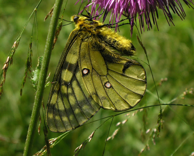 Parnassius eversmanni MÉNÉTRIÈS, 1855, mâle. 10 km au nord de Krasnorechenskij près de Dal'negorsk, 25 juillet 2010. Photo : J. Michel