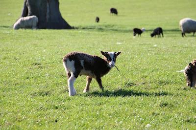 Shetland Schaf