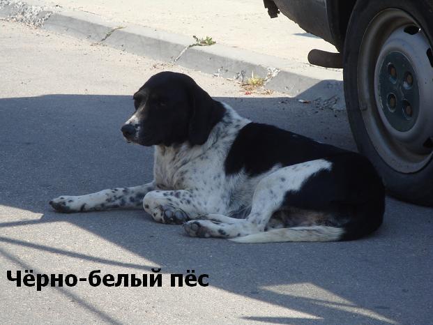 черно-белый пес