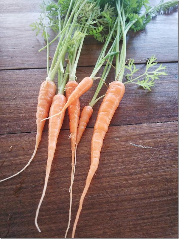 cenouras legumes biologico horta terra viver sustentavel saudavel simples
