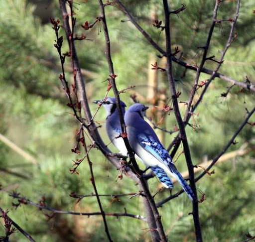 Bluejays frequent visitors at the feeders